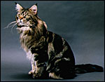 SGC Advent Hill Fitzwilliam, Best Maine Coon Cat N.E. Region 1994
